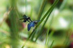 蝶蜻蛉(カップル) (3)