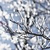 樹氷・キラキラ煌めいて