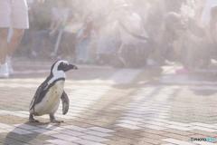マゼランペンギン①