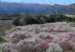 冠雪の山々と梅の里