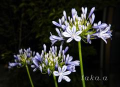 愛の花06