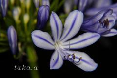 愛の花07