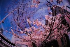 桜咲くバス通り