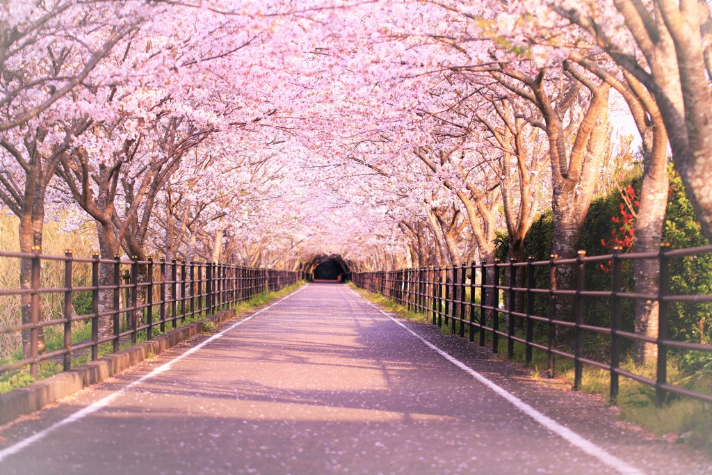 桜のトンネルで散歩