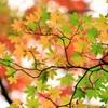 只今紅葉中