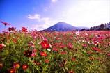 生駒高原の秋桜2