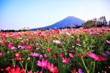 生駒高原の秋桜