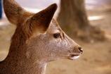東大寺の小鹿