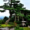Pine tree in Kenrokuen Garden