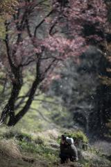男と桜でも