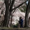 屏風岩 桜景