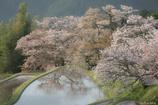 cherry blossom  loss