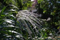 ススキ_小石川植物園