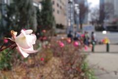 バラ_新宿中央公園
