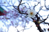 ウメ_日枝神社