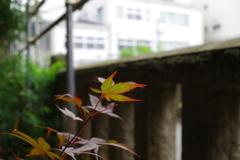 カエデ_荻窪白山神社