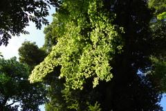 カエデ_旧古河庭園
