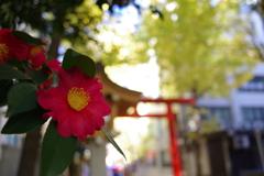 サザンカ_花園神社
