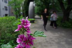 ゼニアオイ_神田上水公園