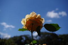 バラ_旧古河庭園