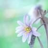 春の使者♪