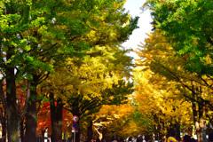 北海道大学 銀杏並木