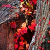 紅葉、赤葉。