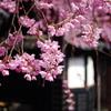 桜と古都風景