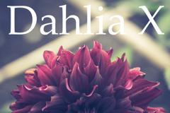 Dahlia X
