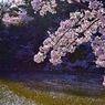 A shower of cherry blossoms