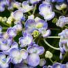 「オタフクアジサイの真花」