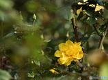 『あそこの黄色いバラ』