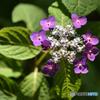 『弾ける紫陽花』