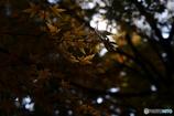 『木漏れ日に浮かび上がるモミジ』