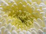 『触手の様な菊の花』