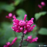 「変わった花、ローズリーフセージ」