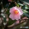 『桃色の椿』