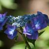「紫の綺麗なグラデーションアジサイ」