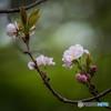「シンプルアレンジ」(桜)