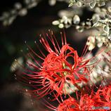 『お彼岸の赤い花』