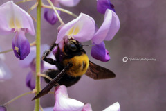 藤とクマ蜂