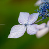 ある雨の日の紫陽花Ⅱ