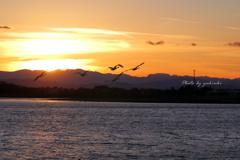 夕日の中を飛ぶ白鳥