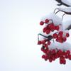 降雪後の街路樹 その2