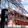 持統桜と講堂