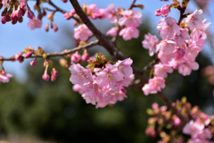馬見の河津桜③