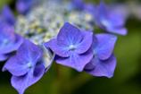 額紫陽花♪