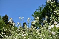 大根の花と青空
