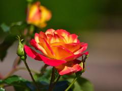 霊山寺の薔薇⑥