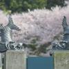 瓦公園の桜